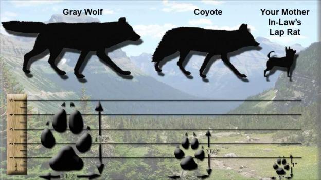 wolf-vs-coyote.jpg